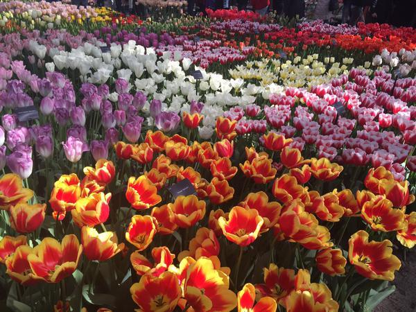 Keukenhof Gardens, Twitter @CarolynDearlove