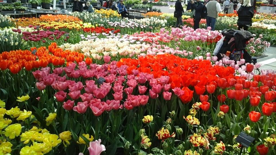 Tulips, Facebok John Sandor