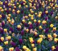 Tulips, Twitter @DawnPlonkey