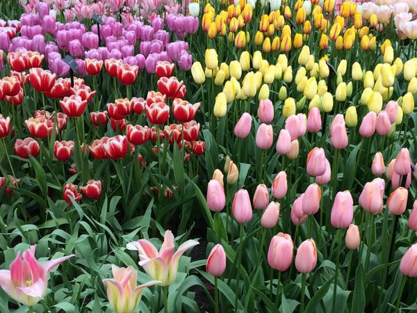 Tulip season avalon waterways blog for What season are tulips